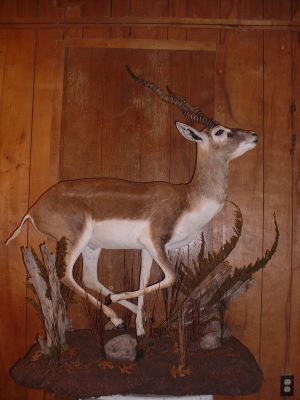 - AH Scott ODonnell Blackbuck 4-22-06 022